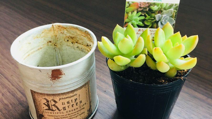多肉植物【月の王子】を植えてみよう!